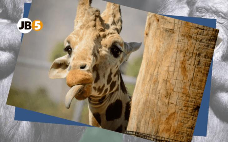 Жираф показывает язык - смешные животные (12)